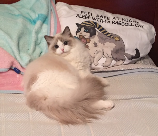 Our beautiful Sophie next to MY pillow